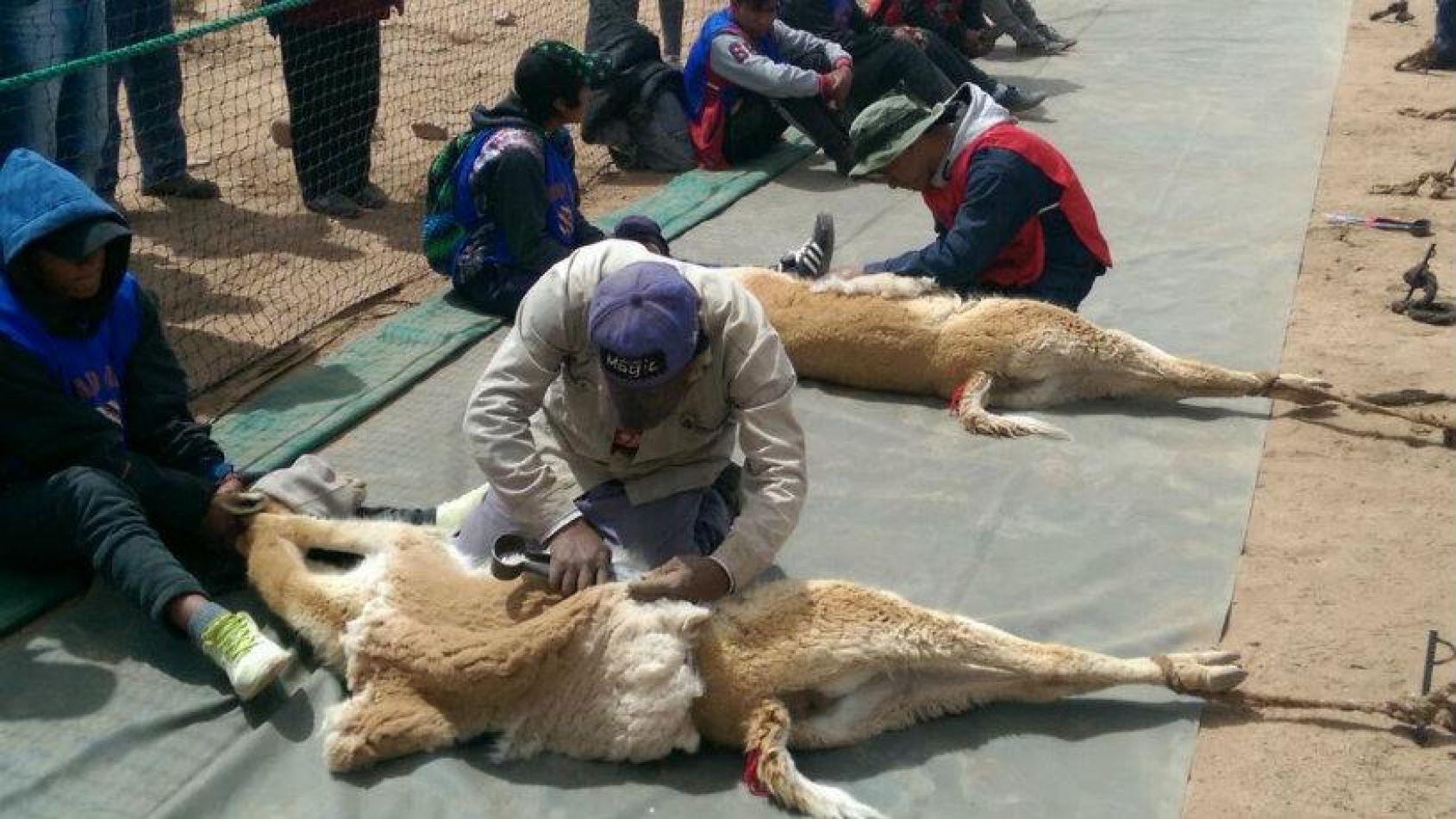 Advierten que privados podrían hacer negocios con vicuñas violando convenios internacionales
